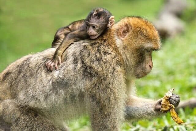 Álomfejtés majom jelentése
